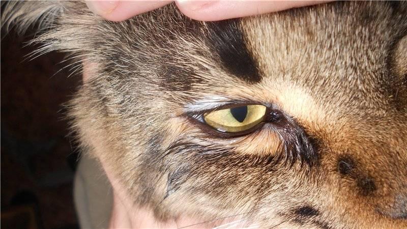 Кот лысеет: почему у животного выпадает шерсть, и образуются проплешины на шее, голове, задних лапах