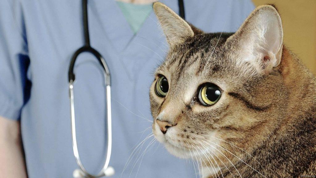 Кашель у кошек при глистах: симптомы и лечение