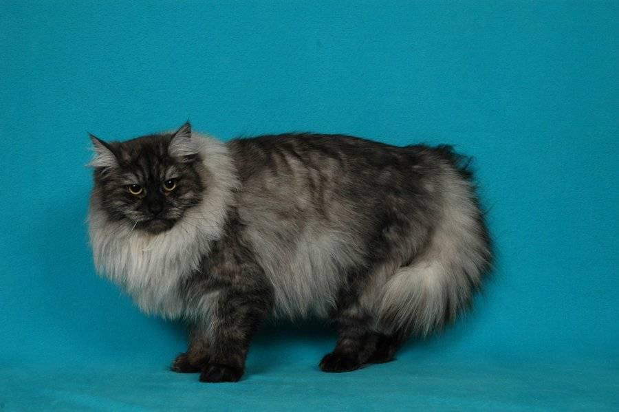 Кошки кимрик: 95 фото, особенности ухода и содержания в домашних условиях