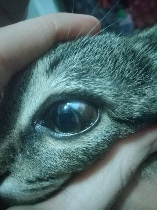 Бельмо на глазу у кошки, лечение патологии: почему у животного орган зрения затягивает пленкой?