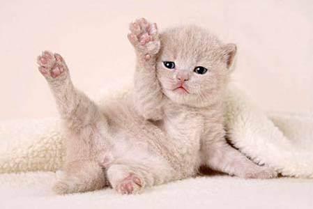 Чем кормить беременную шотландскую кошку? чем кормить беременную кошку британскую