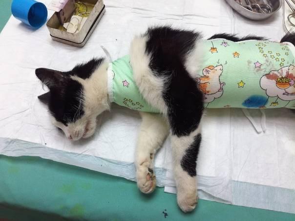Сколько живут стерилизованные кошки