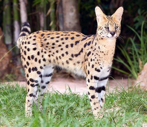 Сервал (37 фото): описание домашних кошек и котов породы сервал. содержание африканских котят дома. размеры взрослого животного
