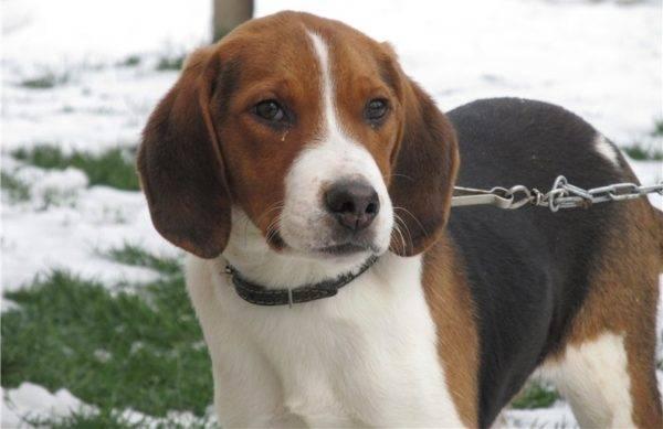 Баварская горная гончая — охотничья порода собак немецкого выведения. описание баварской горной гончей с фото: внешний вид и характер собаки, рекомендации по уходу