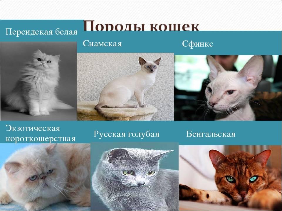 Кошки редких пород: название и описание. самые редкие породы кошек в мире