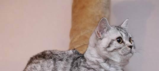 Скоттиш-страйт фото кошки, описание породы, характер, уход за шотландской прямоухой кошкой