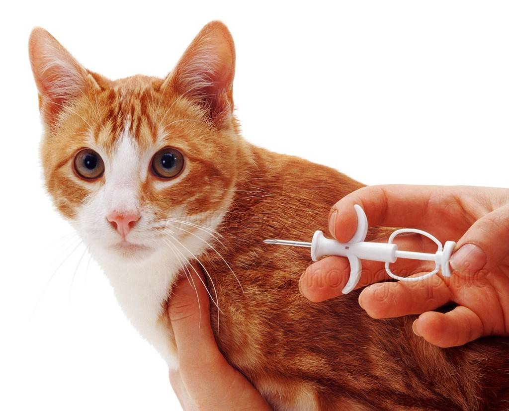 Чипирование кошек: что это такое? как выглядит чипирование кошек и котов? особенности проведения процедуры чипирования для выезда животного за границу