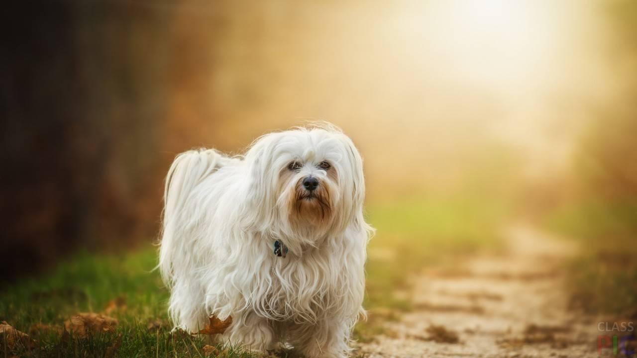 Собака болонка гаванский бишон * стандарт, характеристика, уход, характер, описание породы