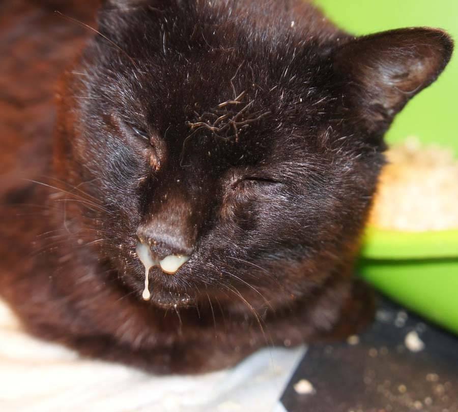 Почему чихают у кошки?