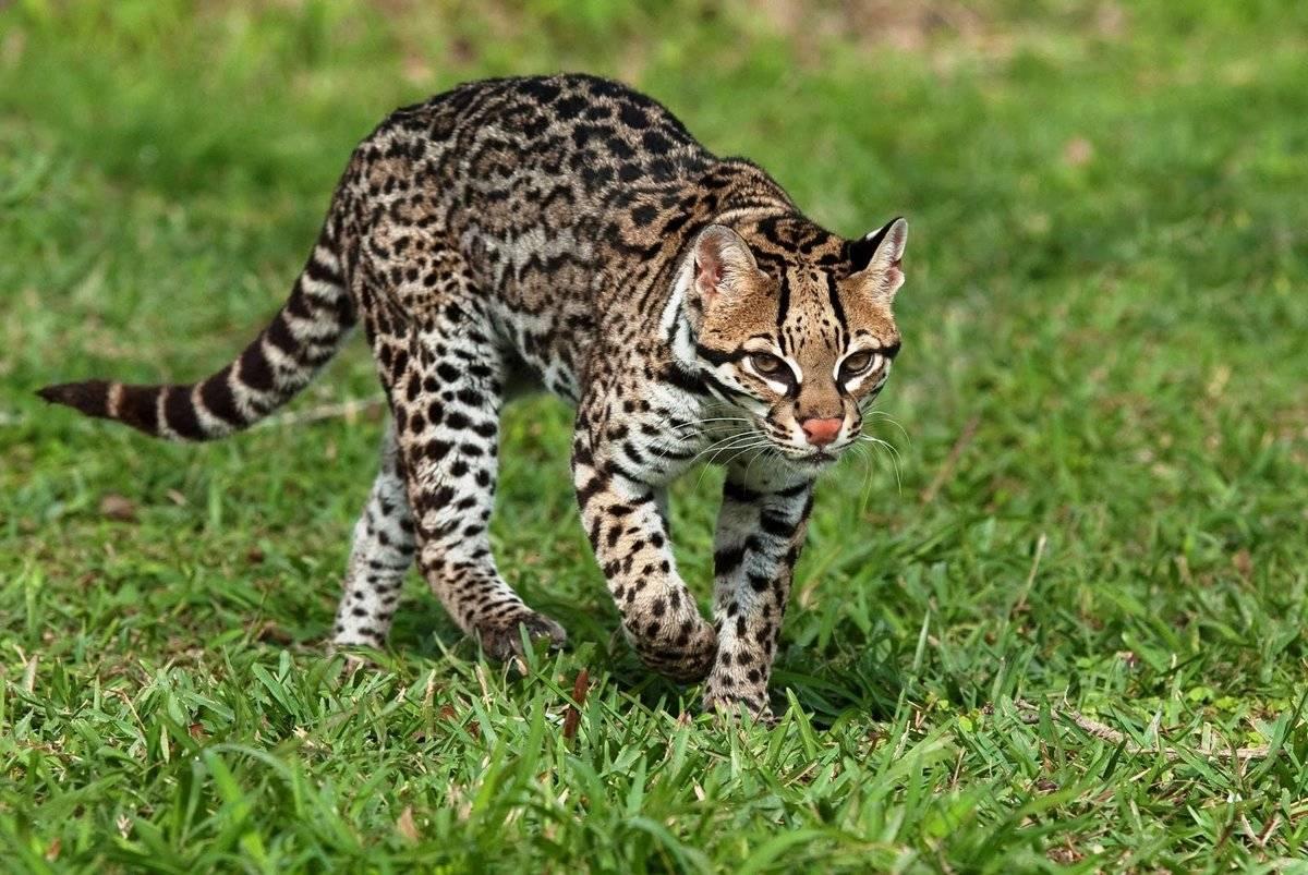 Самая быстрая кошка в мире
