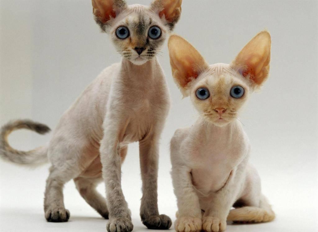 Бирманская кошка: все о кошке, фото, описание породы, характер, цена