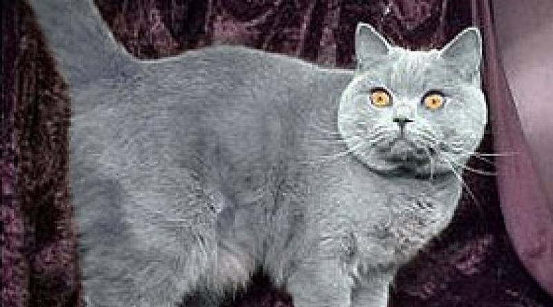 Почему у британских котов висит кожа на животе