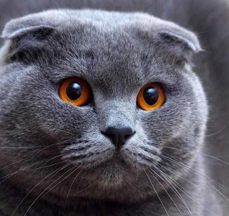 Сколько лет живут коты шотландской вислоухой породы - кошки и собаки простыми словами