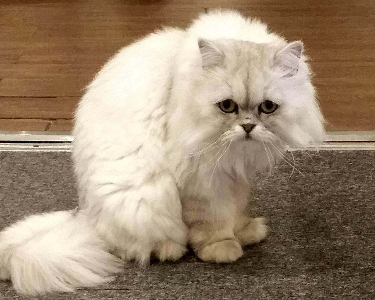 Тойгер: порода кошек, описание, фото, характер, разница с бенгалом, цена в рублях за котят а также сколько стоит взрослый кот