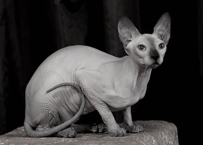 Гипоаллергенные породы кошек: виды, фото, выбор питомца и правила содержания, отзывы владельцев