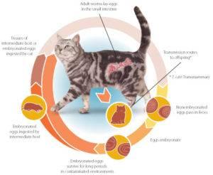 Глисты у кошки: как определить и что делать, какие есть лекарства