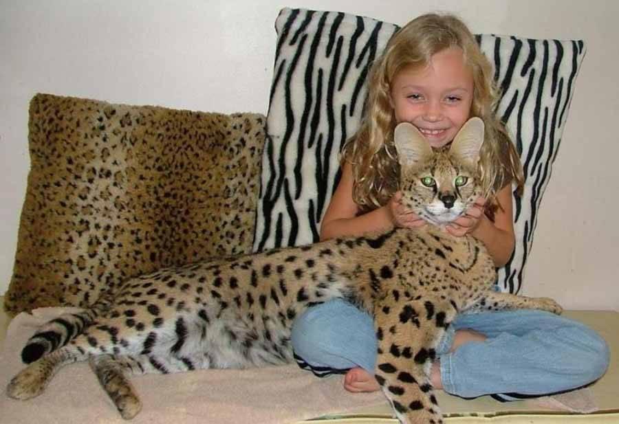 Самые крупные породы кошек, с фотографиями и названиями