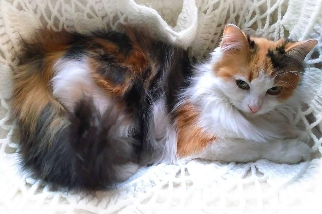 Трехцветная кошка - вся правда об их генах, характере и поведении! | caticat.ru