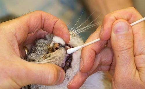 Как правильно почистить зубы коту