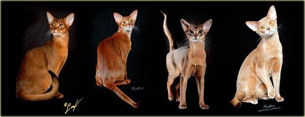 Абиссинская кошка, обзор породы, особенности характера и поведения, фото окрасов