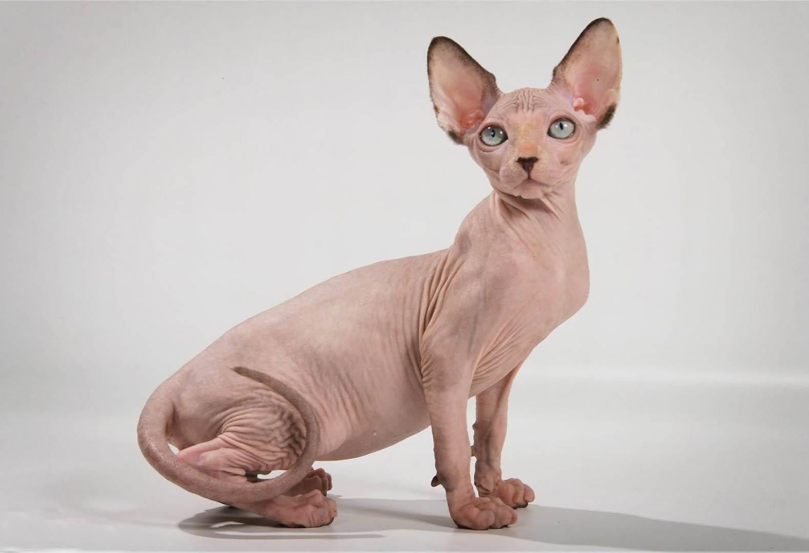 Лысые кошки: названия пород животных без шерсти, особенности содержания бесшерстных питомцев