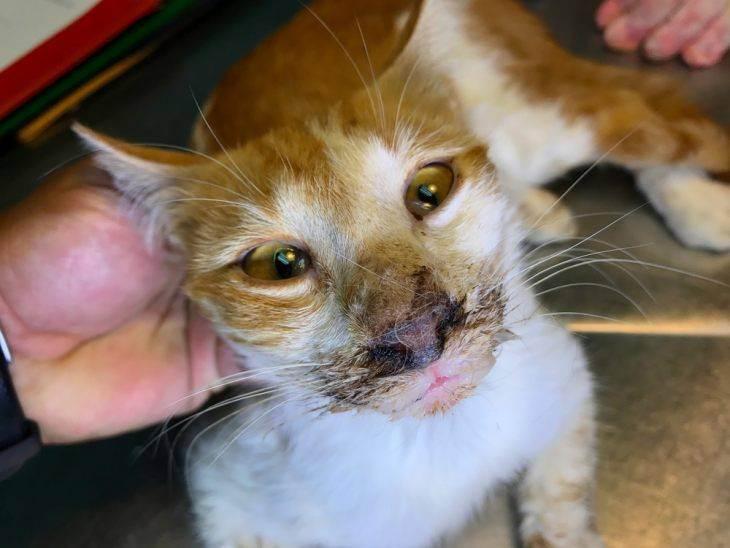 Симптомы и признаки проявления ринотрахеита у кошек
