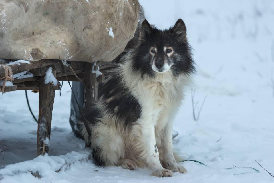 Лопарская оленегонная собака: фото, описание породы, характер | все о собаках
