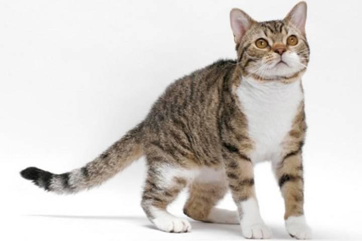Азиатская табби — описание породы кошек
