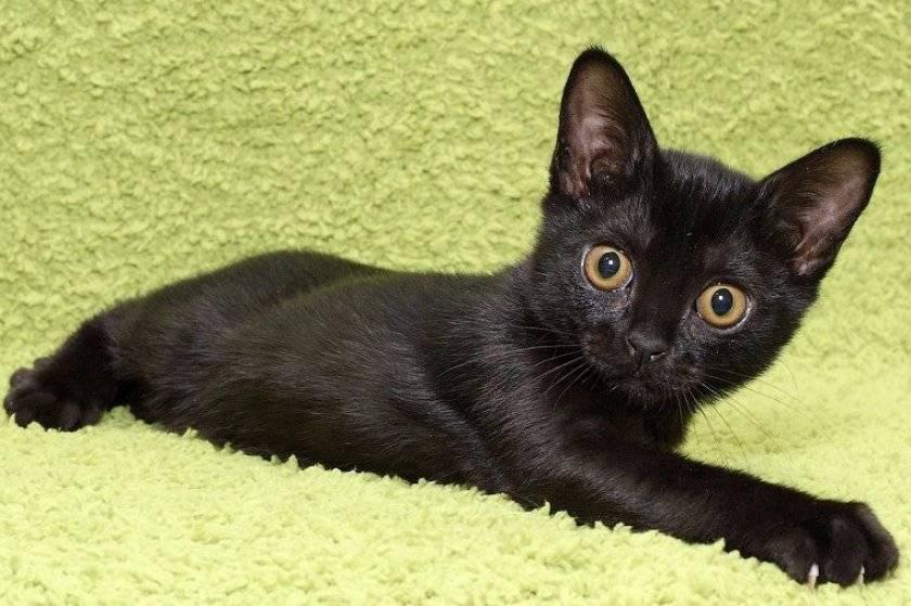 Бомбейская кошка: описание породы и характера, фото и видео