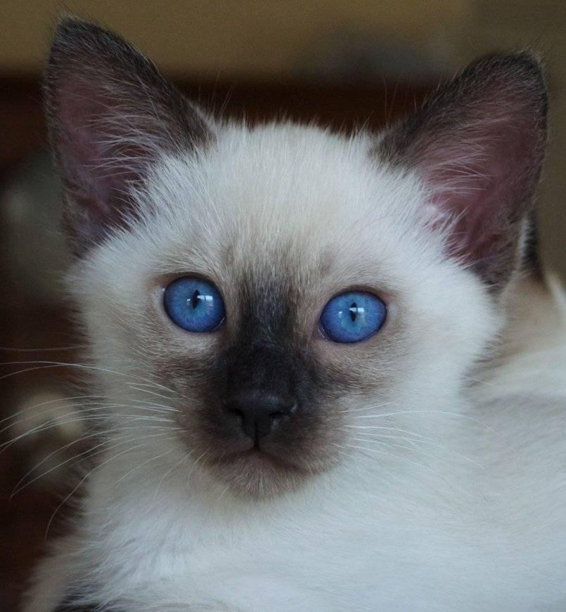 Меконгский бобтейл: описание породы кошек, характер, отзывы, фото