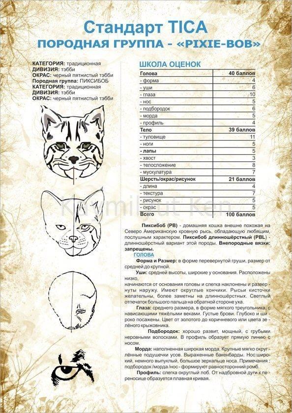 Кошка хауси (чаузи): 41 фото, описание, окрас, характер, стандарт породы