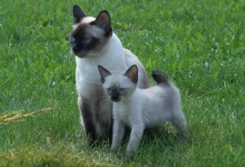 Тайская кошка: стандарт породы с фото, описание характера, особенности ухода