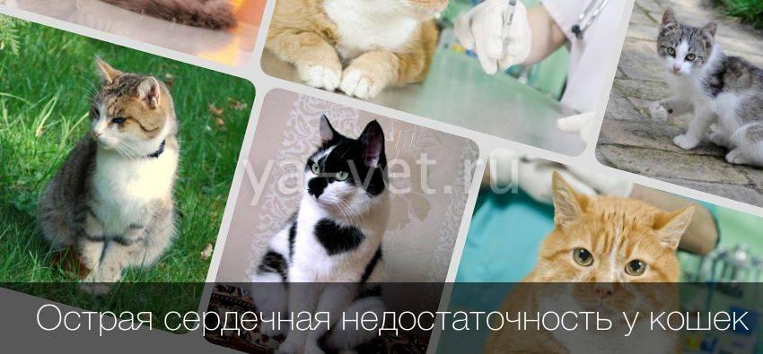 Сердечная недостаточность у кошек - симптомы и лечение