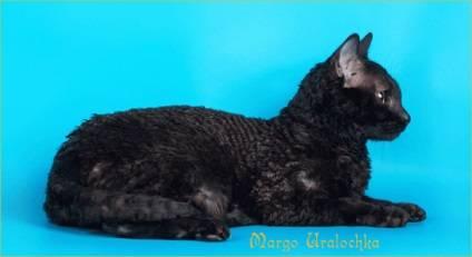 Описание и особенности характера кошек породы уральский рекс, основы ухода