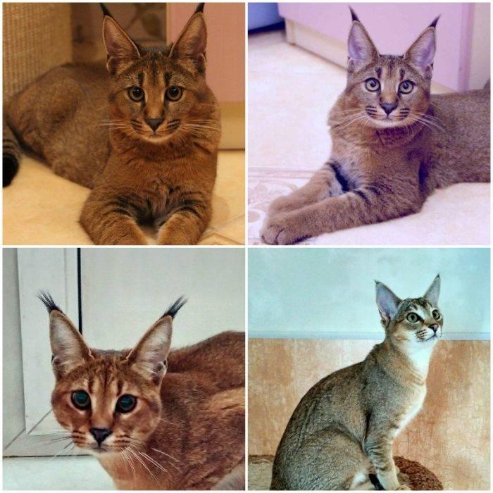 Кошки с кисточками на ушах: порода, фото, характер, описание, уход.