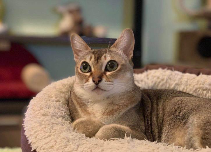 Сингапурская кошка – миниатюрная дюймовочка