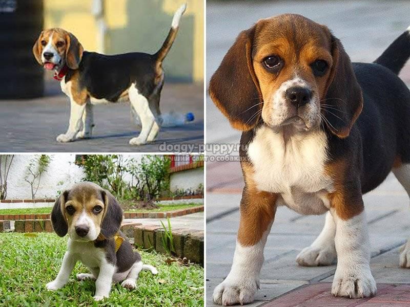 Порода собак бигль: 63 фото , видео и описание.