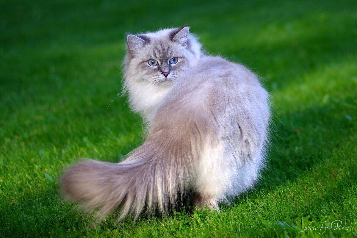 Сибирская маскарадная кошка: описание породы, характер, содержание и уход  - mimer.ru