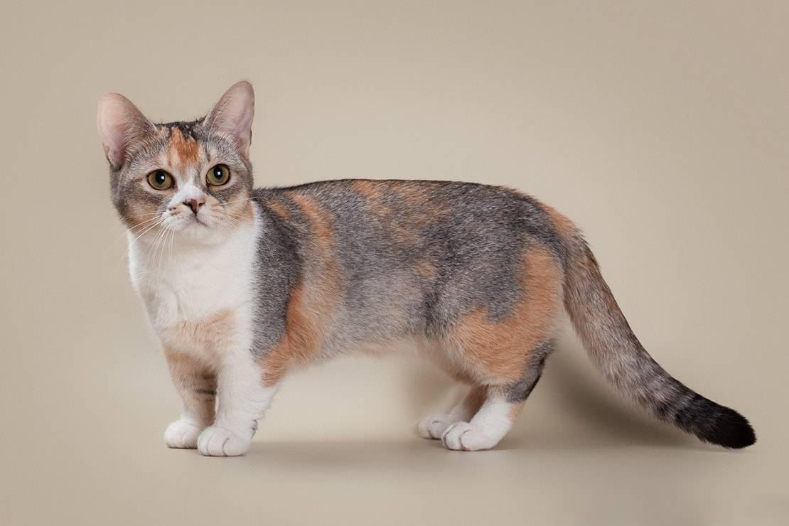 Манчкин: кошка с короткими лапами