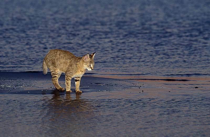 Всё, что вы хотите знать о камышовом коте