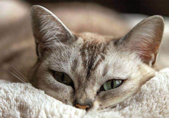 Чистим уши кошке в домашних условиях