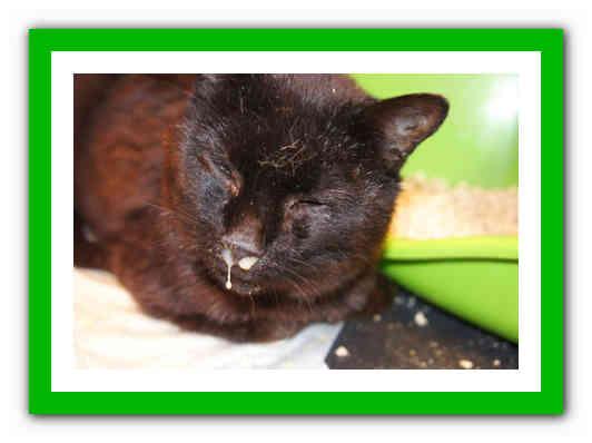 Ринотрахеит у кошек: симптомы и лечение опасного заболевания самостоятельно