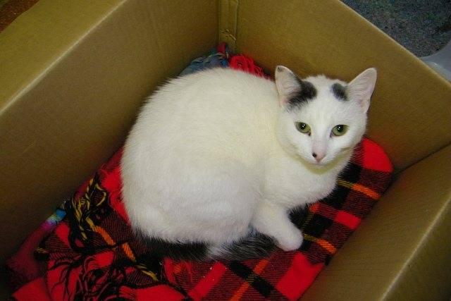 Анемия: лечение гемобартенелеза у кошек