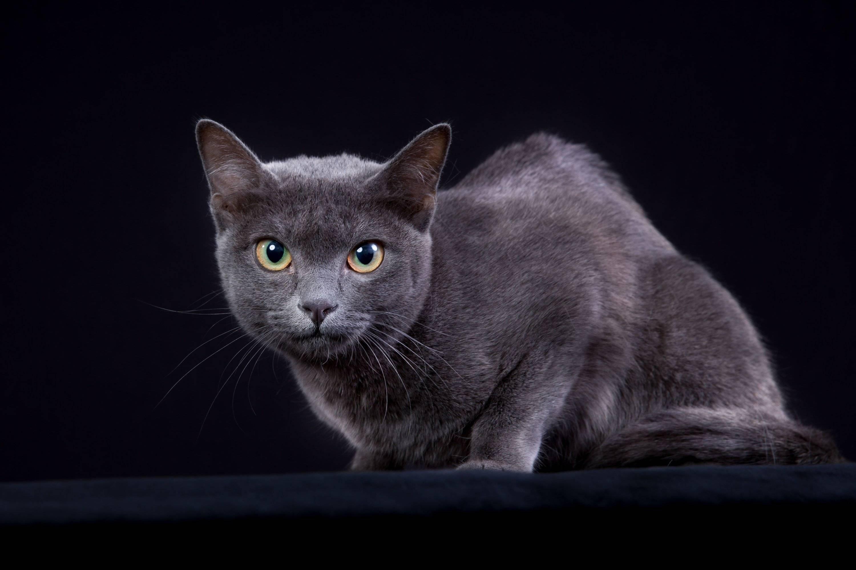 Корат: описание породы кошек, содержание и уход, фото