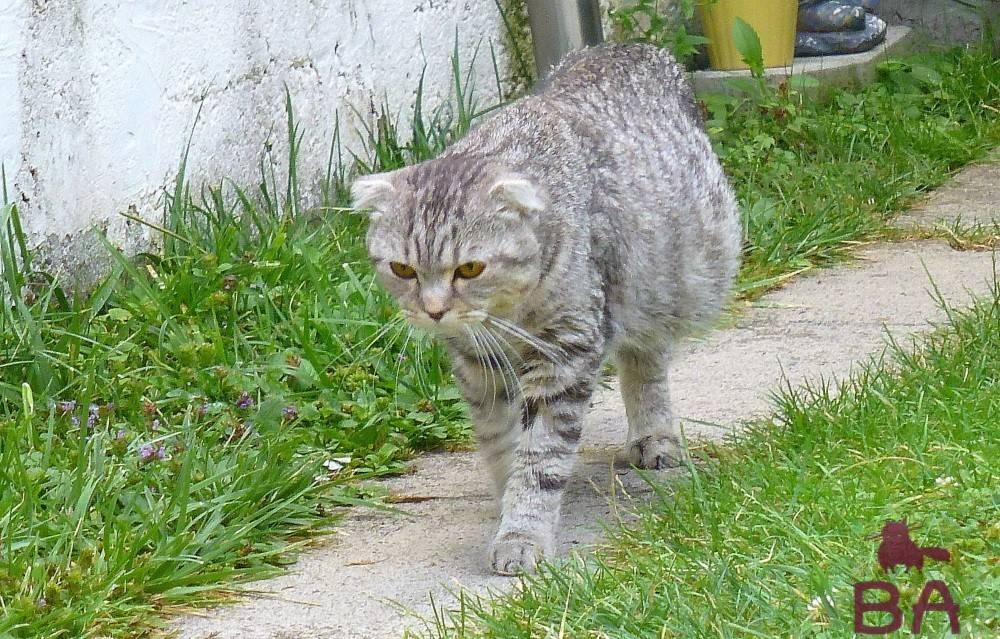 Асцит у кота лечение в домашних условиях - муркин дом