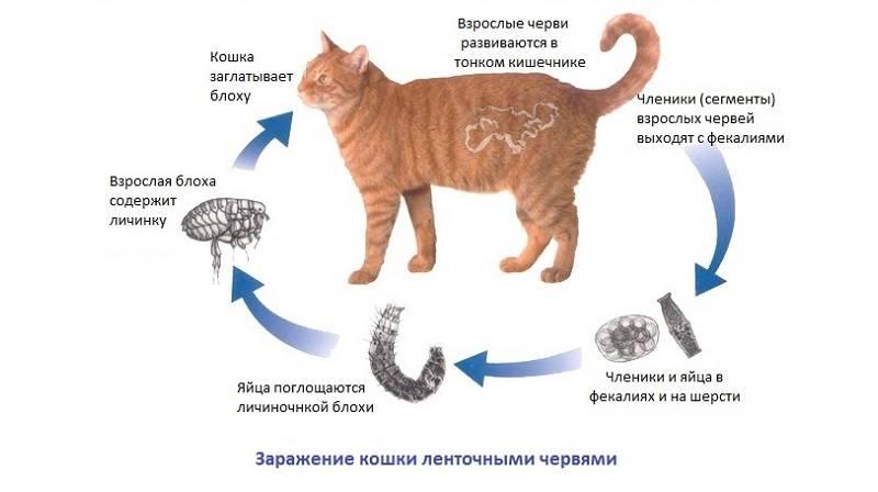 Дипилидиоз у кошек - заражение огуречным цепнем, каковы симптомы и методы лечения