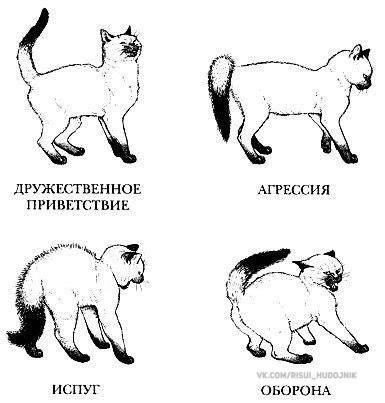 Кот постоянно виляет хвостом. почему кот машет хвостом? что демонстрирует кошка, поворачиваясь к хозяину животиком