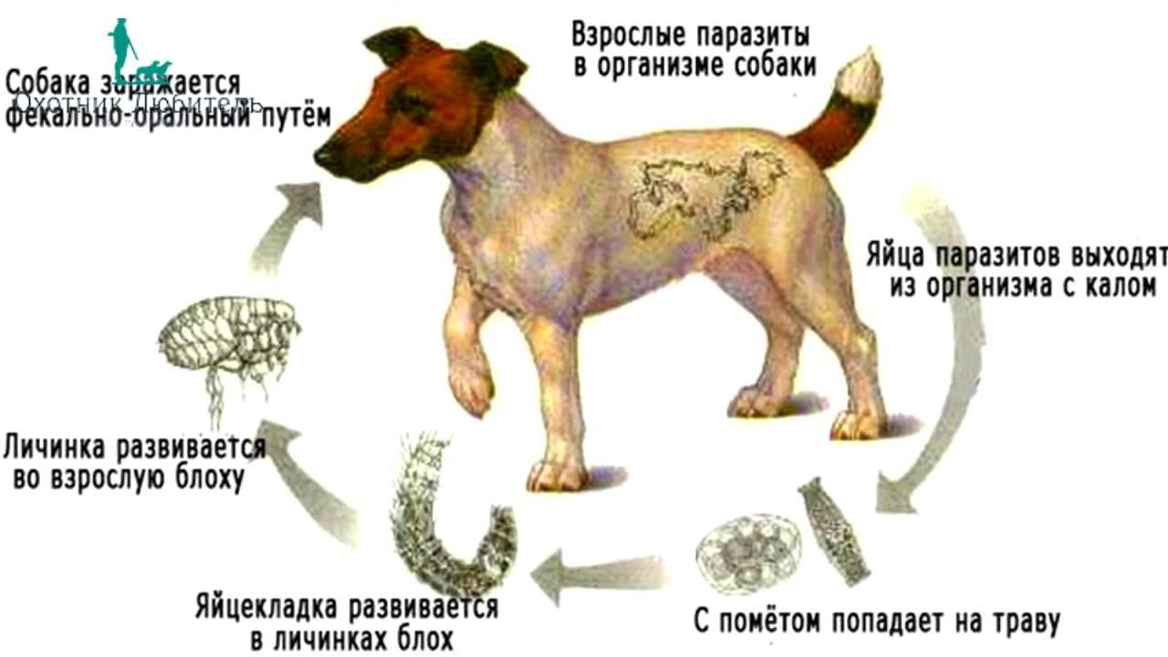 Дирофиляриоз у собак: фото, симптомы и лечение