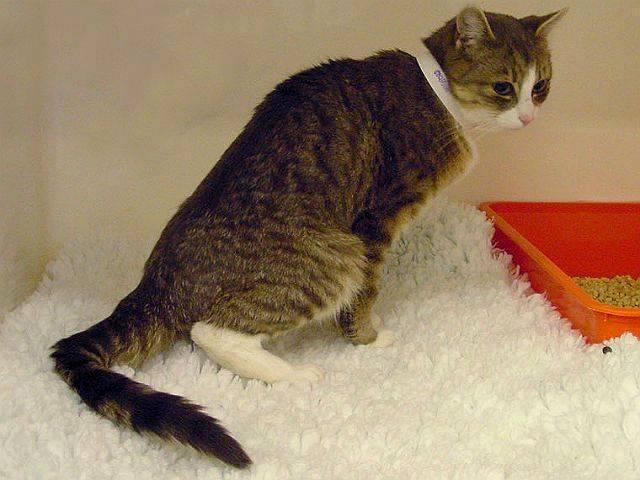 Идиопатический цистит у кошек - лечение и симптомы