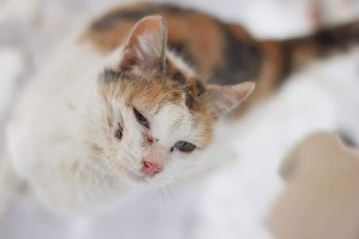 Можно ли вылечить чумку у кошек